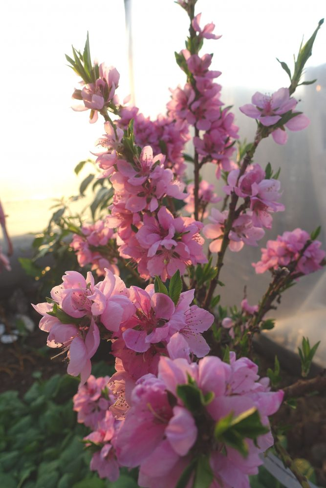 Skyar av rosa blommor på kompakta kvistar.