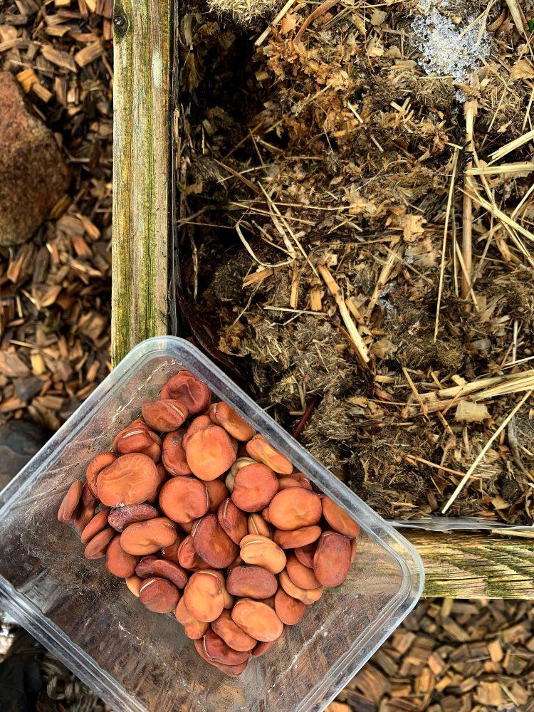 En bytta med bönor står på kanten till en odlingslåda.