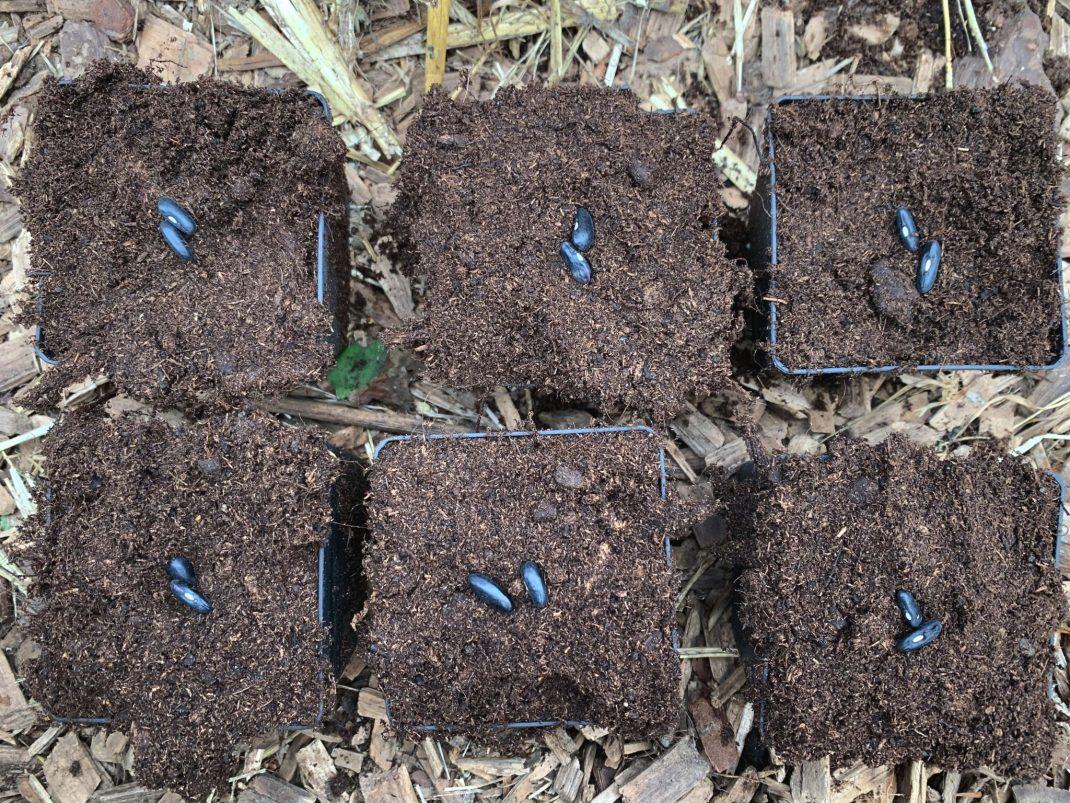 Bild på sex krukor med två frön som ligger på jorden i varje kruka.