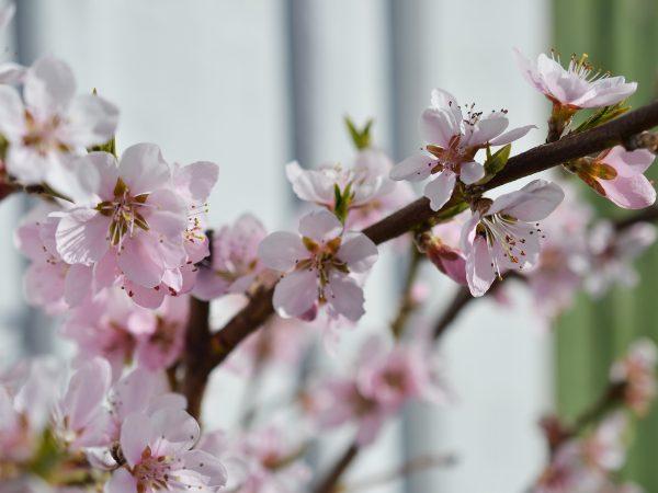 En persikokvist med vackra ljusrosa blommor