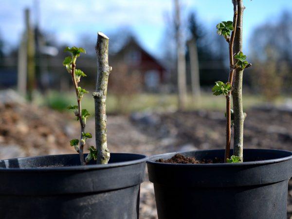 Två krukor med små pinnar med blad på.