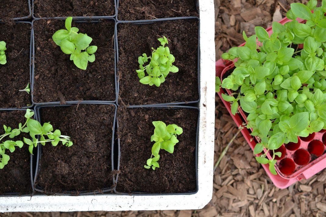 Omplanterade basilika bredvid ett tråg med gröna blad.