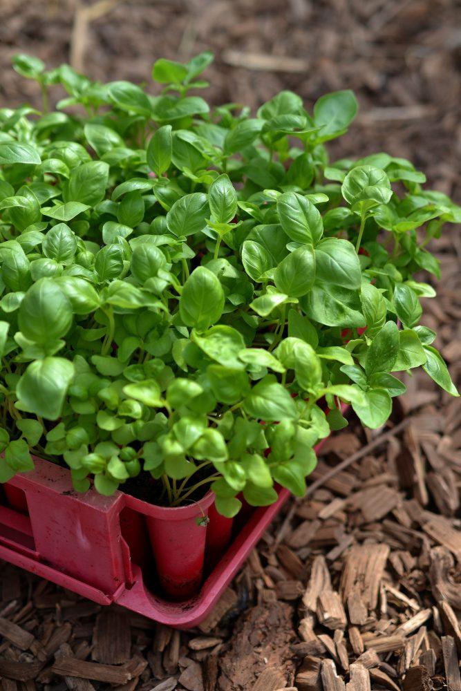 Stående bild på rött tråg med gröna plantor i.