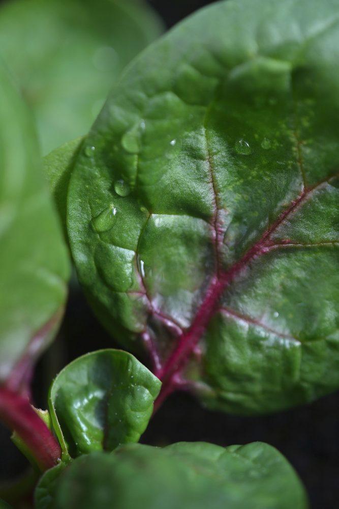 Närbild på grönt blad med rosaröd mittnerv.