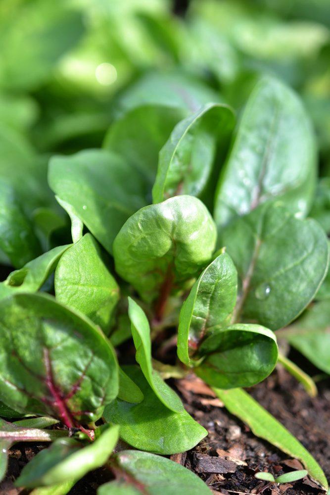 Närbild på små plantor av spenat.