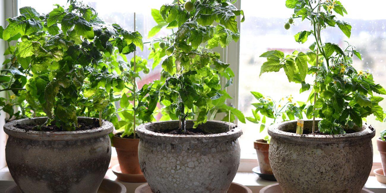 Tre tomater i krukor på ett bord framför ett fönster.