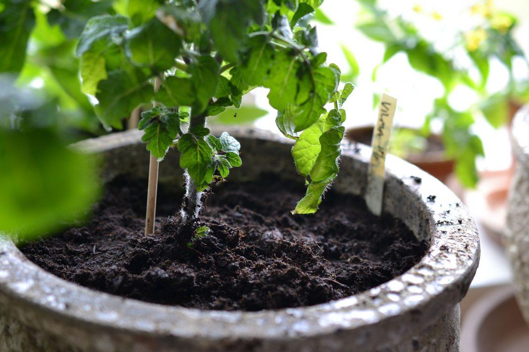 Närbild på en lerkruka med tomat i.