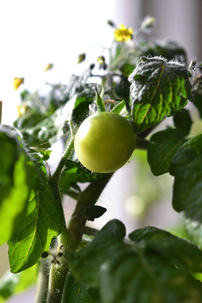 Närbild på en grön tomat.