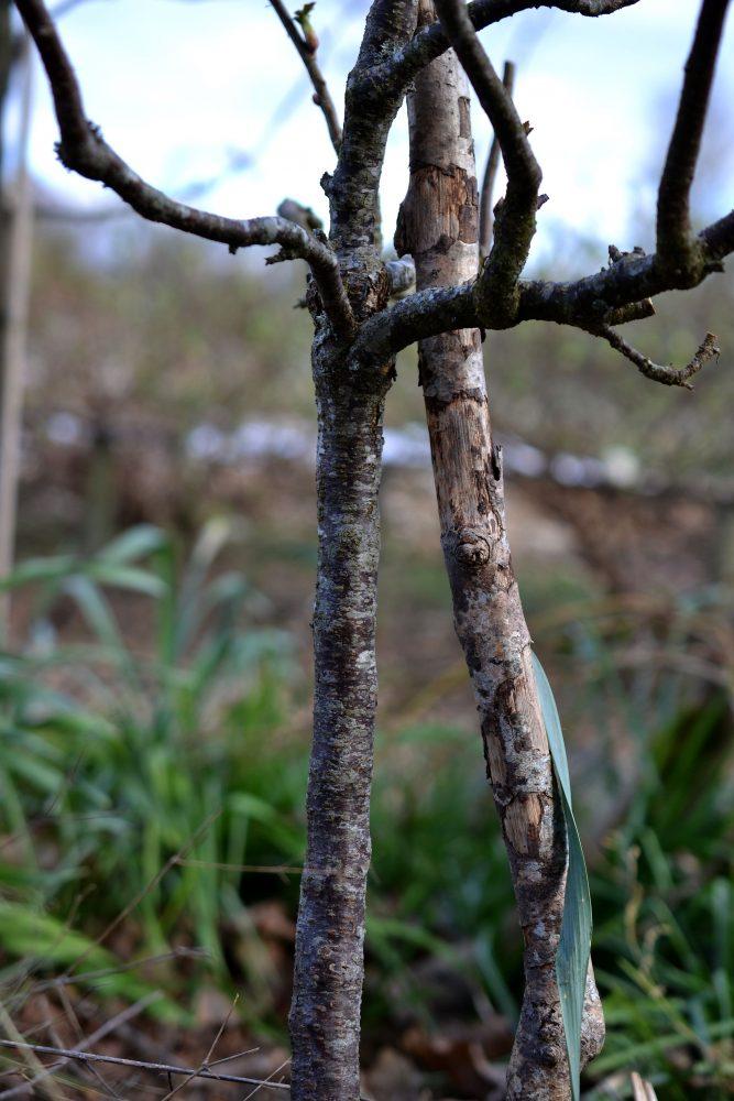 Närbild på uppstammad vinbär utan blad.