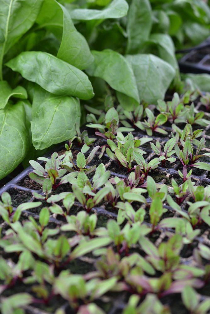 En bricka med många små plantor.
