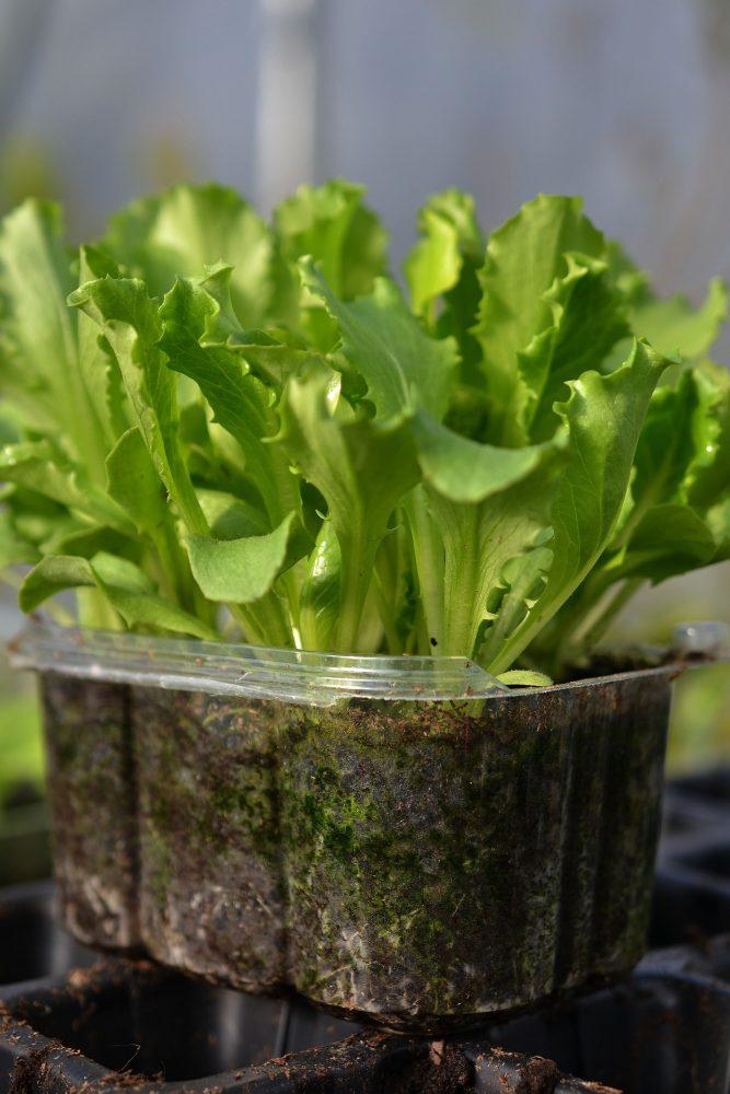 Närbild på tråg med grön sallat.