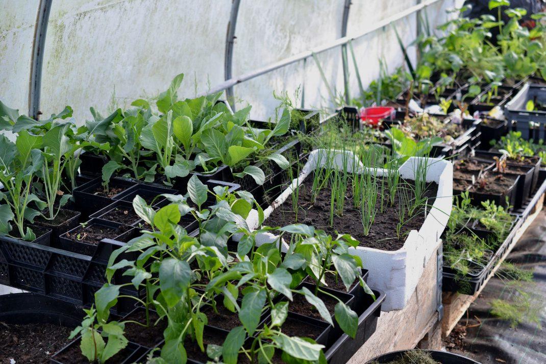 Massor av plantor i ett tunnelväxthus.