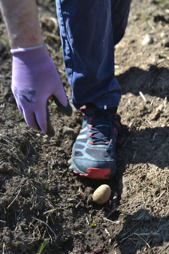En hand lägger en potatis i jorden.