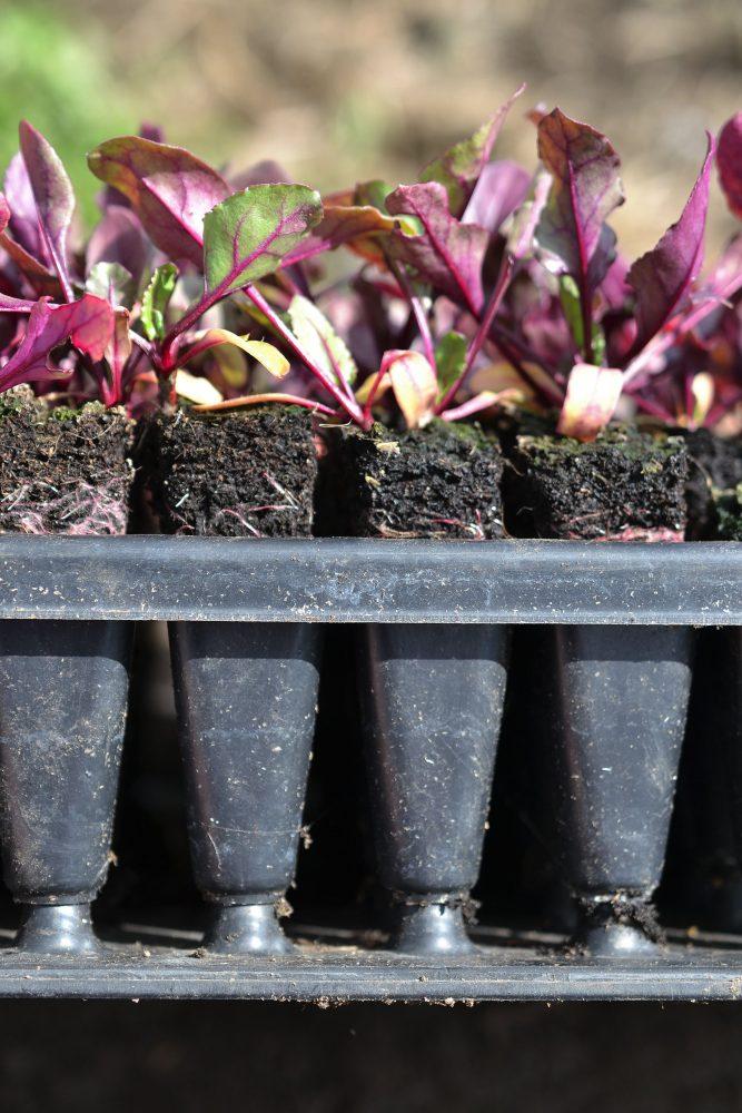 Plantor som ploppat ut ur pluggbrättet.