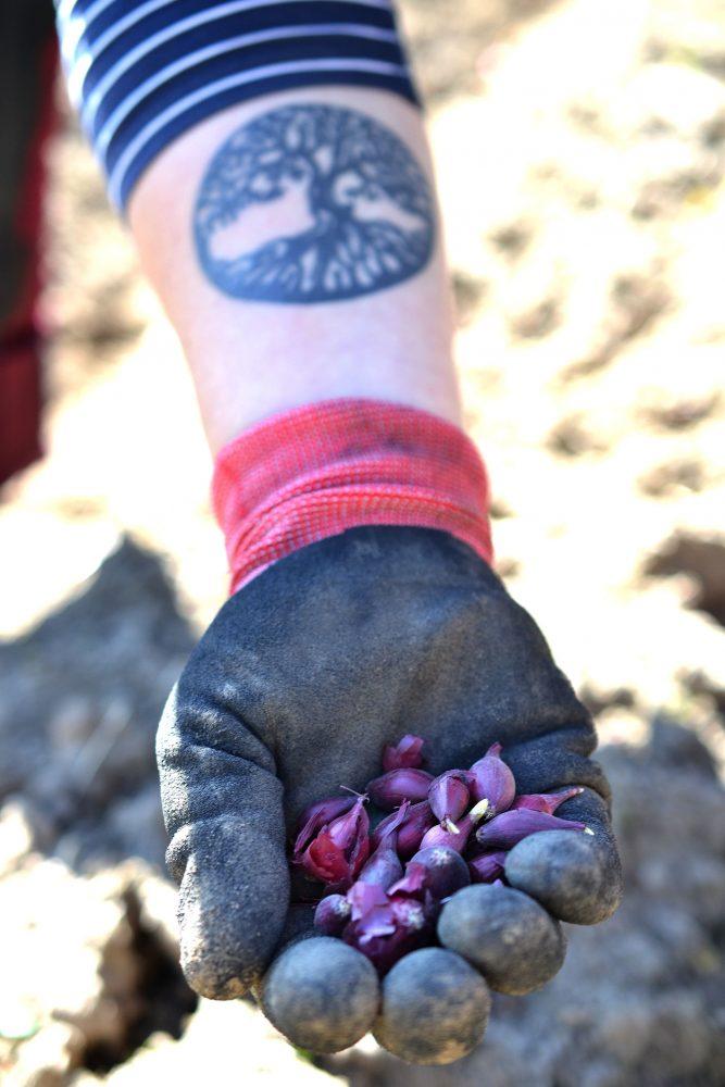 En hand håller en näve röd sättlök.