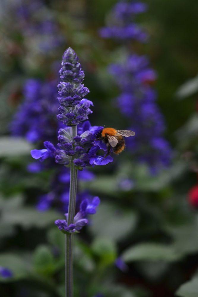En humla på en knallblå blomsterspira.