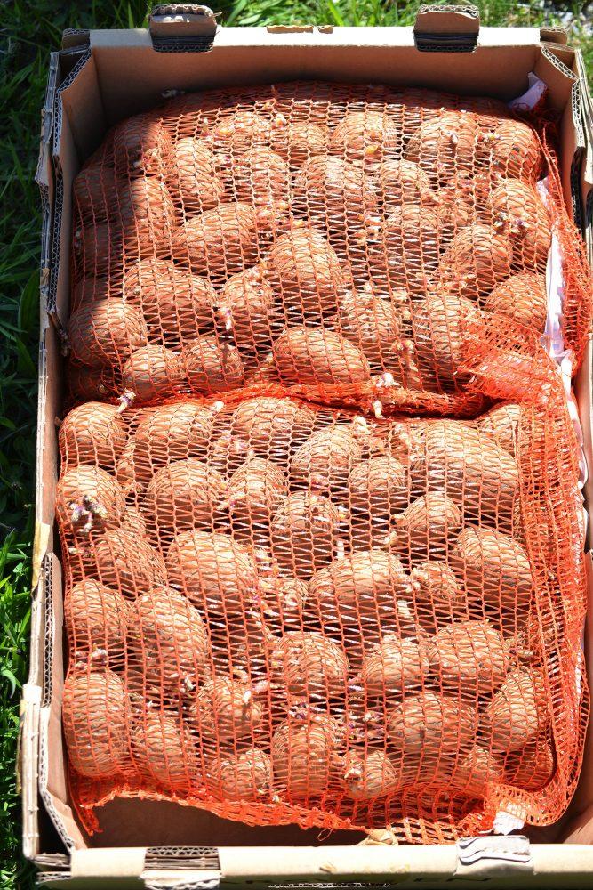 Sättpotatis i orangea nätsäckar.