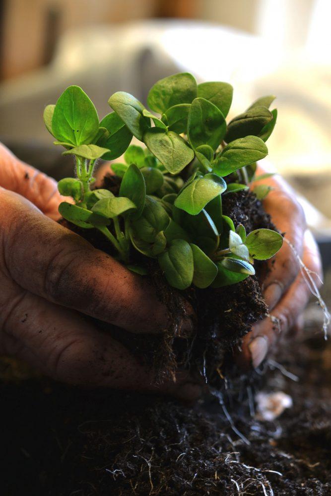 Gamla händer håller en bunt med växter.