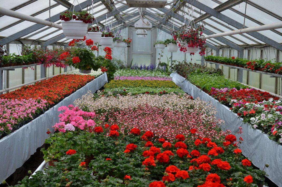 Växthus med sommarblommor i röda och rosa nyanser