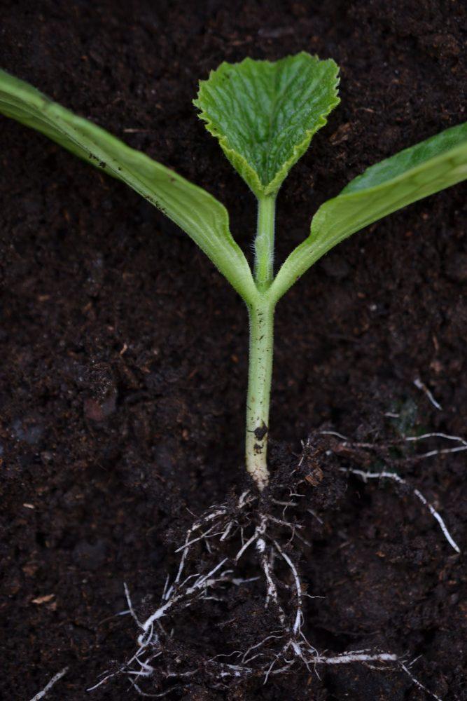 Närbild på en ung squashplanta.