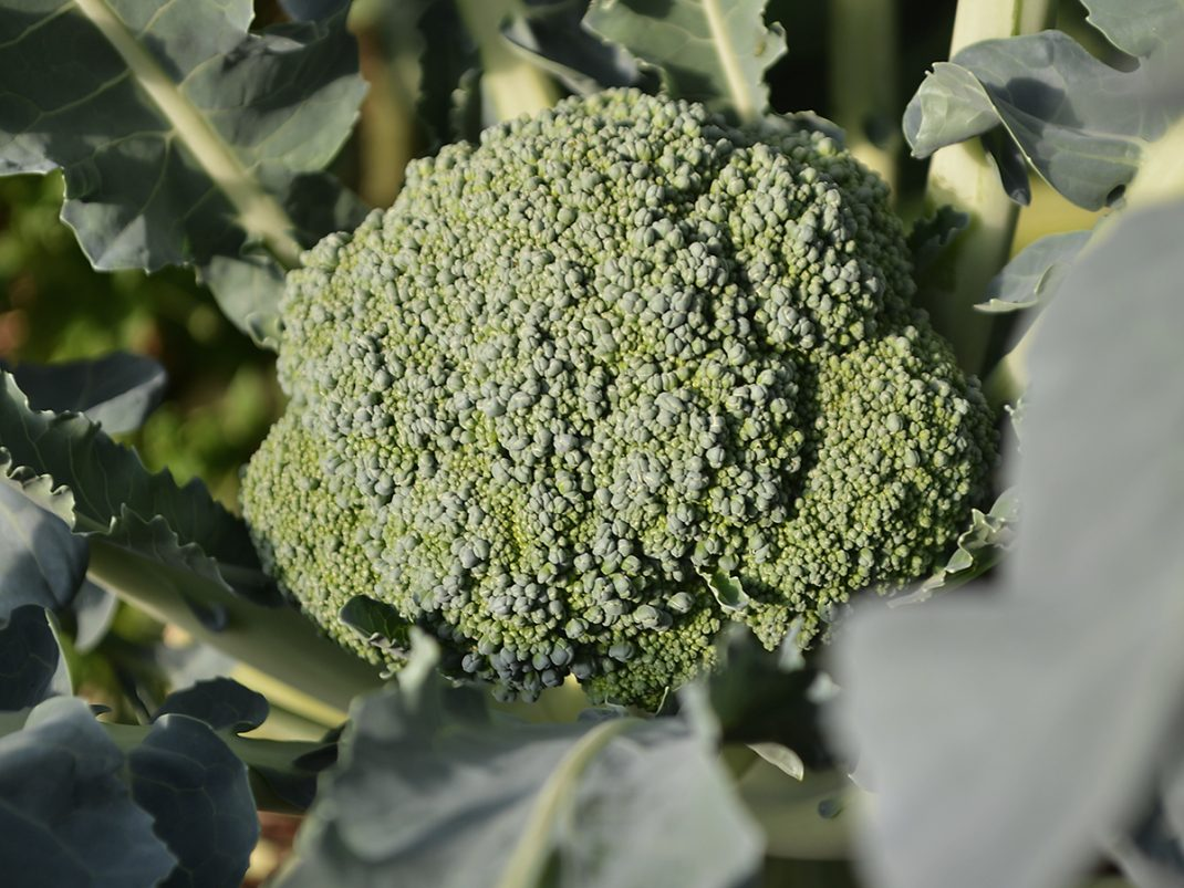 Broccolihuvud