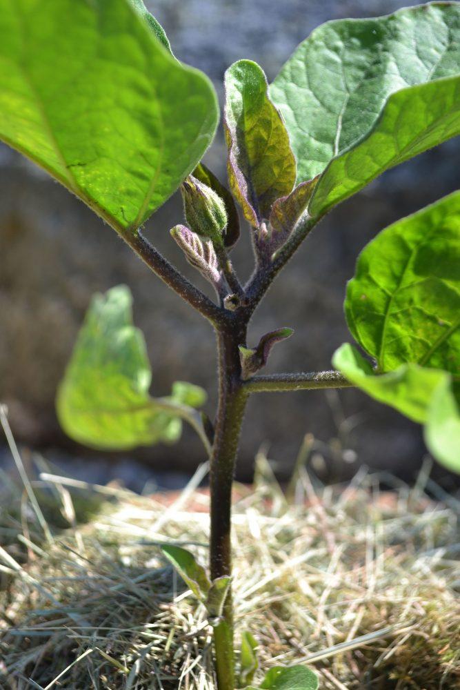 Närbild på en planta med gröna blad.