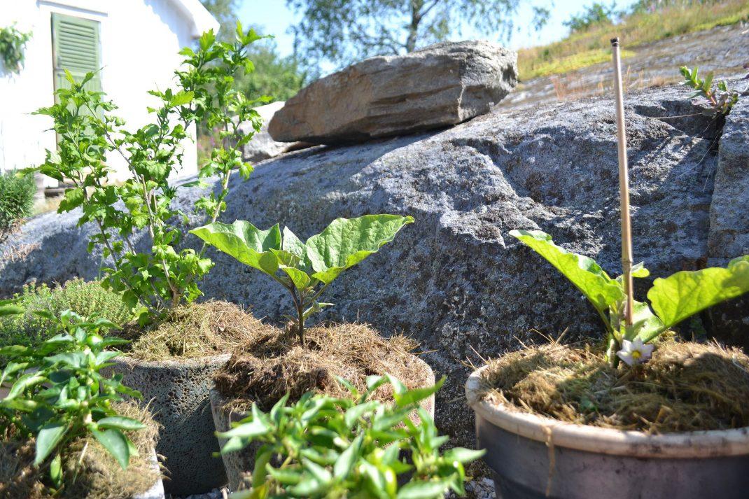 Gröna plantor i krukor nedanför ett berg