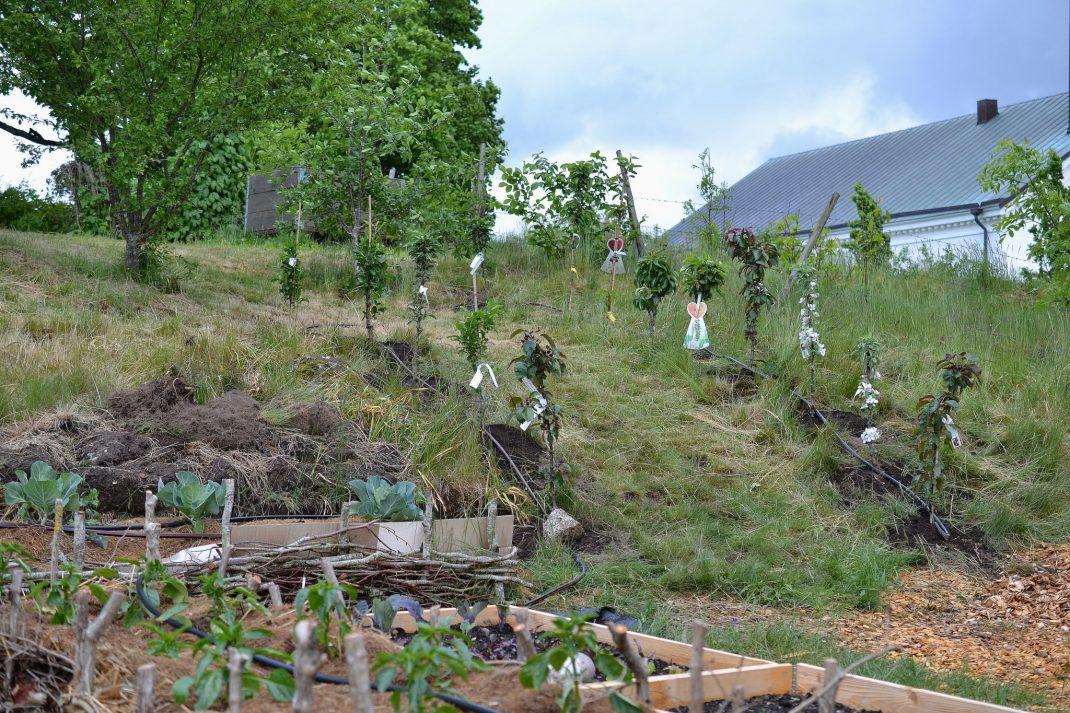 En slänt med flera små träd planterade i.