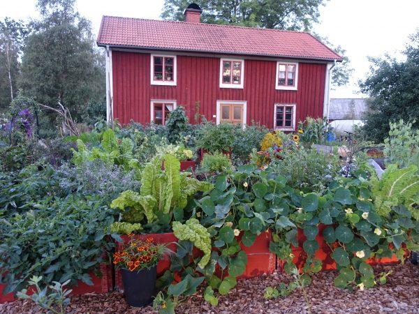Morgonljus över ett rött hus med grönsaksodling framför.