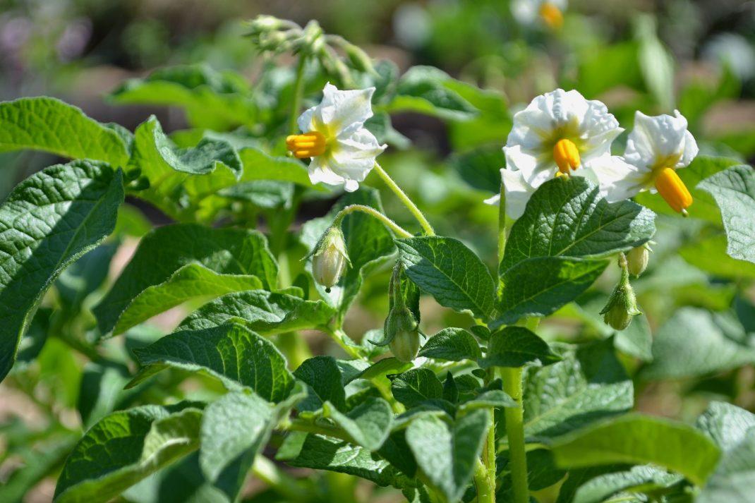 Grön blast och vita blommor på potatisen.