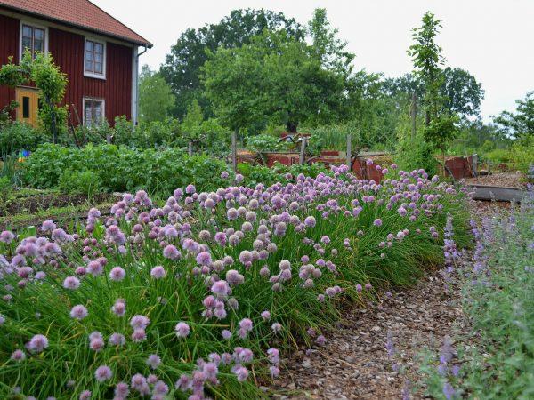 En köksträdgård med blommande gräslök.