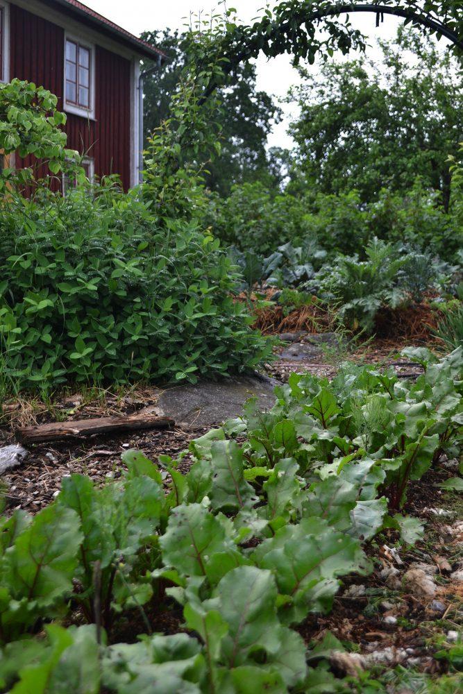 Vy över köksträdgården med träd i portaler.