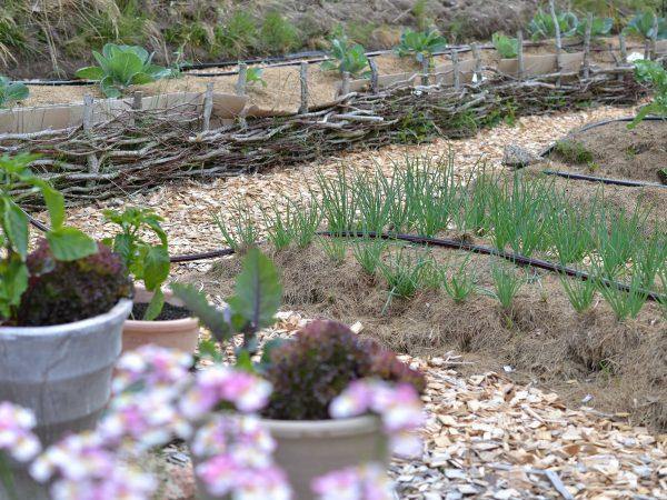 Köksträdgård med flätade kanter på odlingsbäddar.