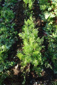 Solbelyst morotsblast i grönsakslandet