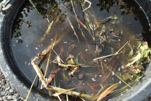 En simmig vätska blandat med växtdelar blir till fint gödselvatten