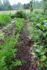 Ett grönsaksland med morotsblas och rödbetsblast