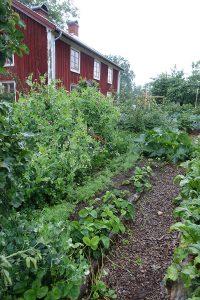 Grönsaksodling i Skillnadens trädgård