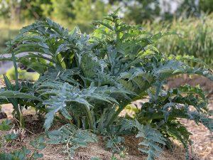 En kronärtskocksplanta i en täckodlad bädd