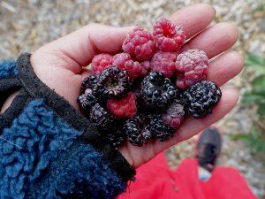 En hand fulla av svarta och röda hallon