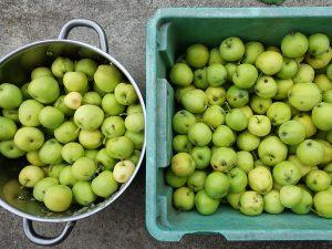 Äppelskörd av sorten Transparent Blanche