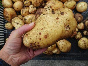 Närbild på en bautastor potatis