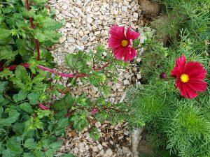 Vackra färger av rosenskära Rubenza och