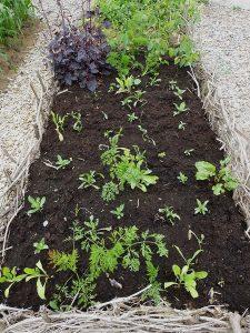 En odlingsbädd med blandad kompott av mangold, morot, målla och sallat
