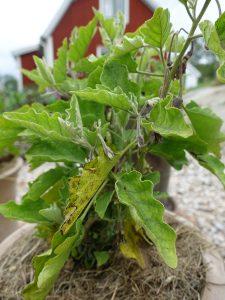 Aubergineplanta i kruka