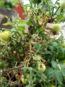 Tomatplanta med gulnande vissna blad efter att ha blivit angripen av skadedjur