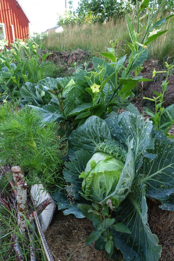 Närbild på odlingsbädd med kål och sommarblommor.