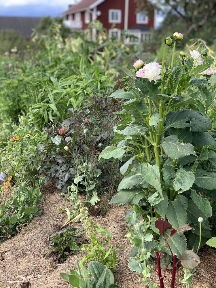 Dahlia och andra sommarblommor i en bädd.