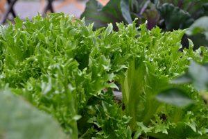 Närbild på gröna sallatsblad.