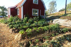 Frodig köksträdgård i sensommarljus.