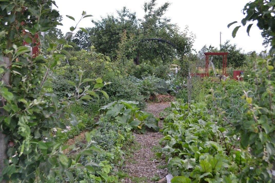 Bild från en köksträdgård med en gång i mitten.